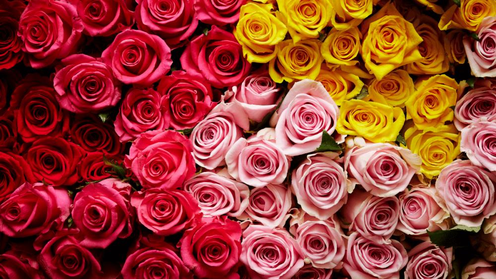 warna mawar